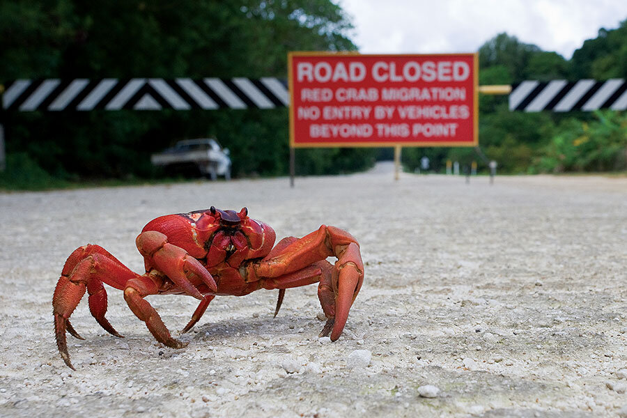Christmas Island Red Crab.Meanwhile On Christmas Island Millions Of Red Crabs Are