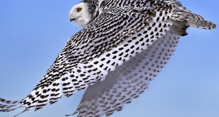 The arrival of snowy owls wintering in northern US present unique opportunity for scientists