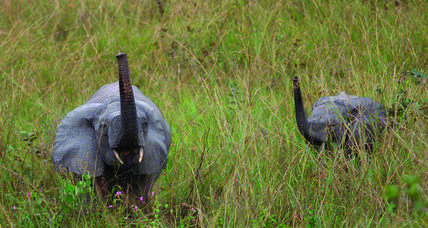 Meanwhile... in Gabon, scientists are asking concerned citizens around the world to help save elephants