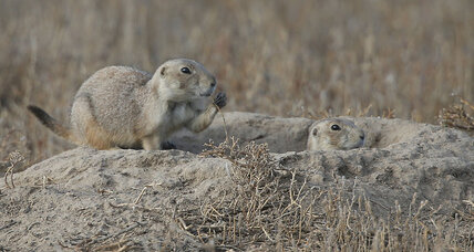 Prairie dogs test Coloradans' patience, and ability to compromise