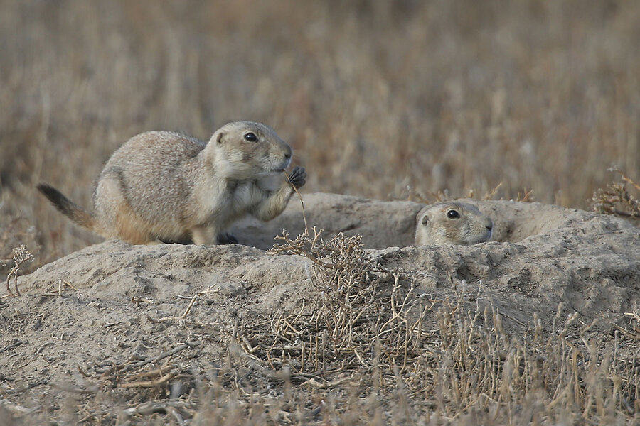 Prairie Dogs Test Coloradans Patience And Ability To Compromise