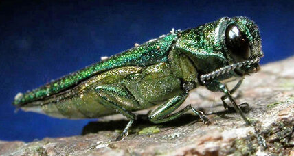 Keeping the emerald ash borer in check