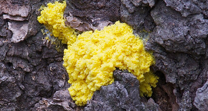 What slime molds can teach us about thinking