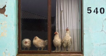 Belgian artist helps Ethiopia engineer the perfect chicken