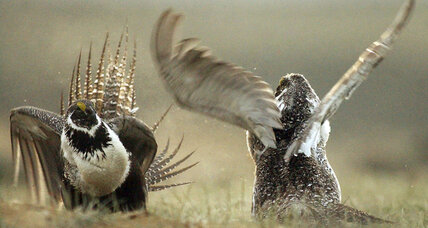 Lawsuits target oil and gas leases in fight for imperiled sage grouse