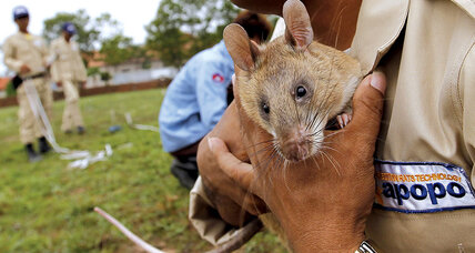 Meanwhile in ... Cambodia, 'hero rats' are helping with mine clearance