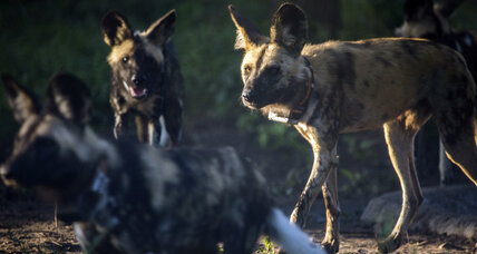 Underdogs no more: African wild dogs make comeback in Mozambique
