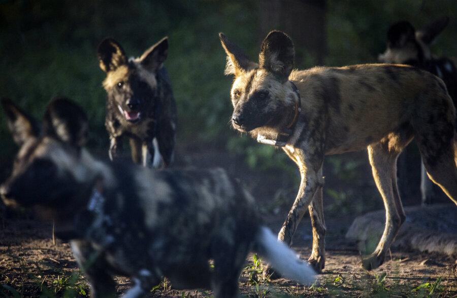 Underdogs No More African Wild Dogs Make Comeback In Mozambique Csmonitor Com