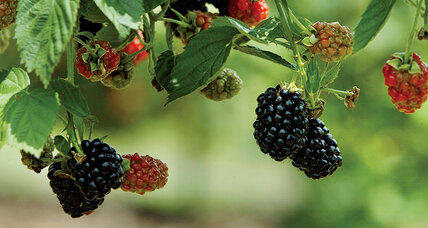 What we know about blackberries