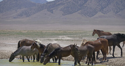American West rounds up wild horses threatened by drought