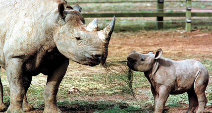 Meanwhile in ... Australia, there's talk about putting rhinos in the outback