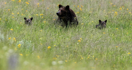 Grizzly hunting season on hold as judge considers federal protections