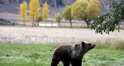 Federal judge blocks hunting against grizzly bears