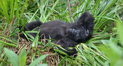 Mountain gorilla population no longer 'critically endangered'
