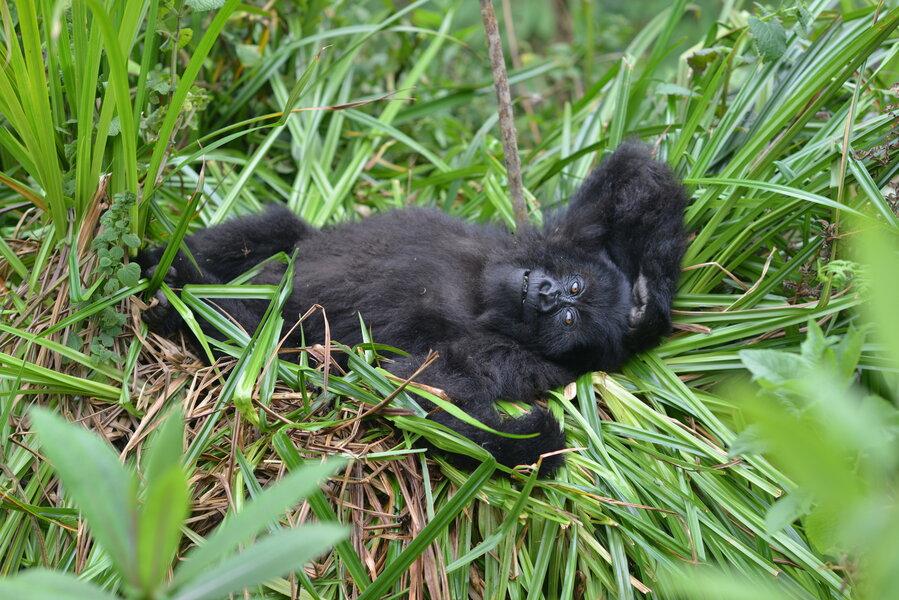 Mountain gorilla population no longer 'critically endangered'