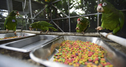 Puerto Rican scientists work to save endangered parrots after Maria