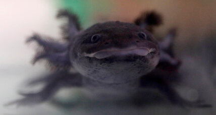 Mythical Mexican axolotl faces extinction in the canals of Xochimilco