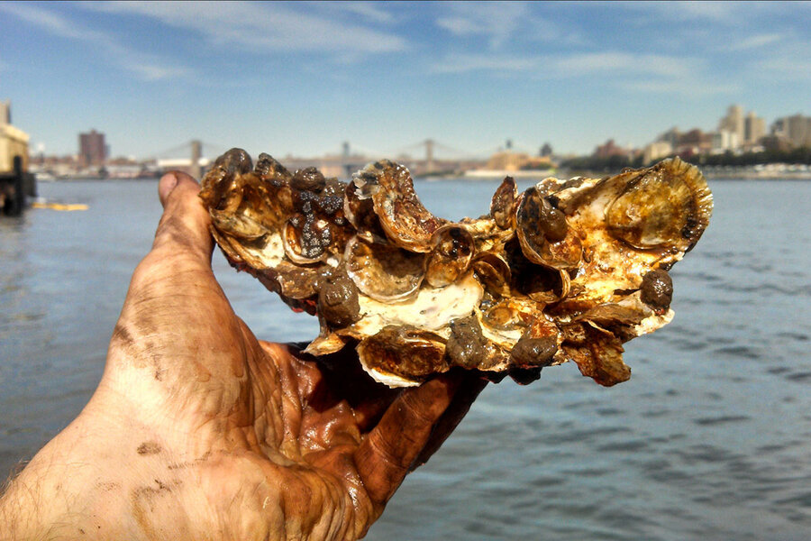 Aw shucks! Can oysters clean up New York's harbor?
