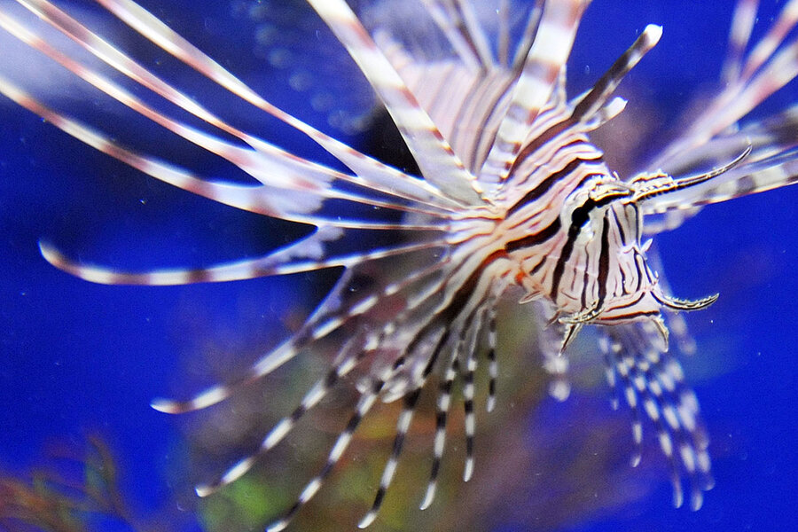Recipe for invasive species: lionfish as food and sport