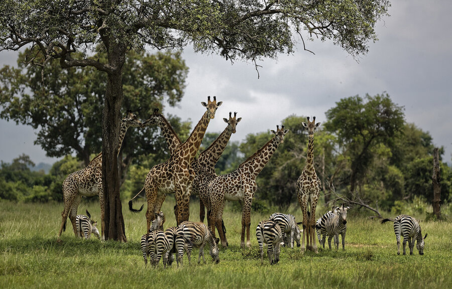 US steps closer to listing giraffes as 'endangered species'