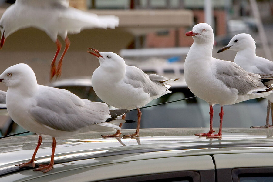 Dinged cars and damaged roofs: The high cost of a gull's meal