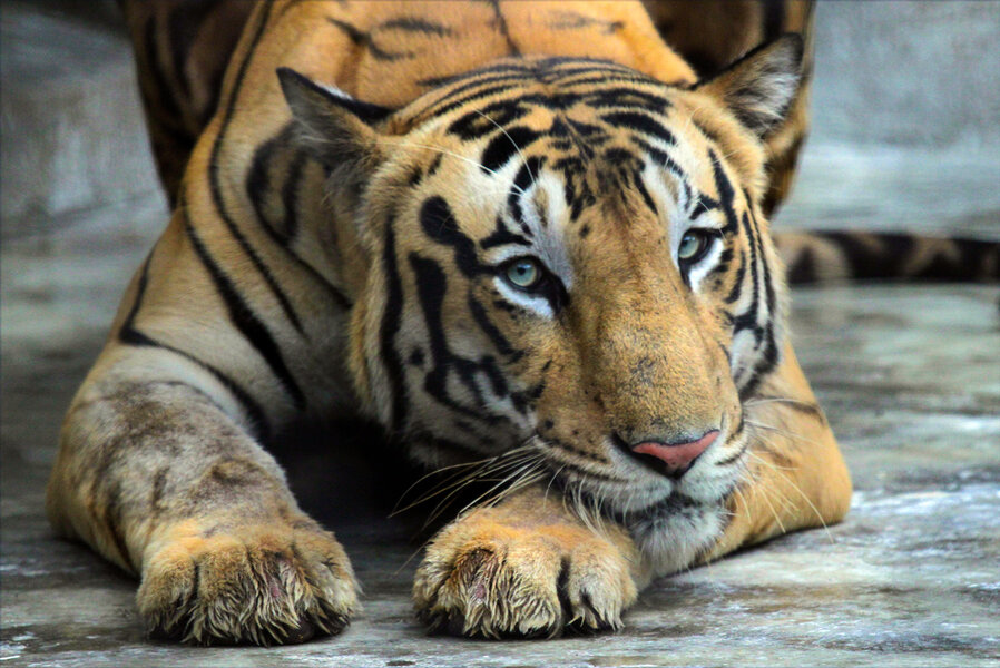 India's tigers come roaring back