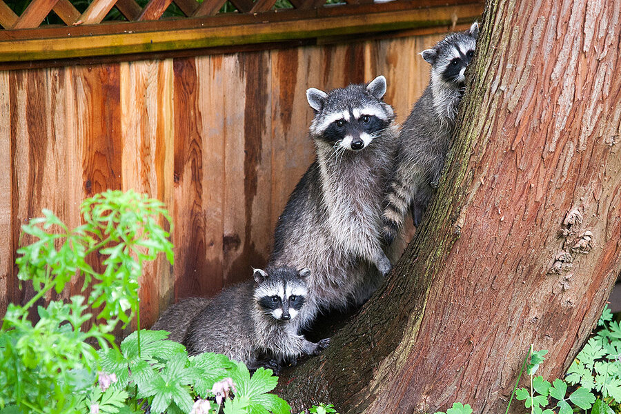 Raccoon in a record store? Toronto grapples with its wilder