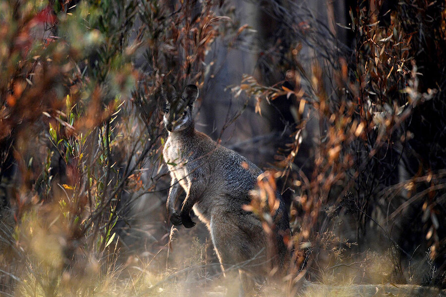When wildfires ravaged Australia, she found purpose in saving wallabies