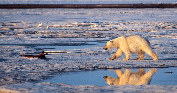 Charismatic bears on thin ice