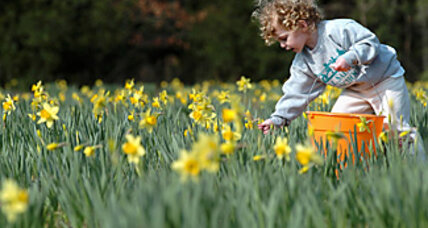 The mystery of the disappearing daffodils