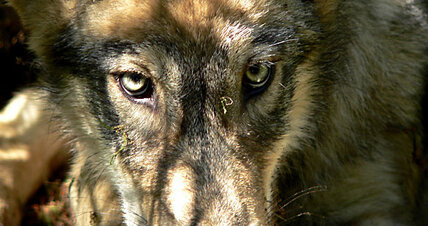 Delisting of wolves raises hackles