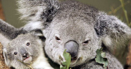 Researchers: CO2 threatening koalas