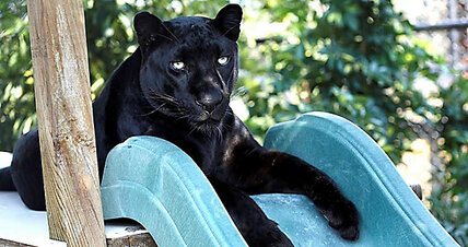 Florida woman runs a sanctuary for big cats