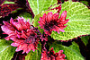 Your coleus questions answered