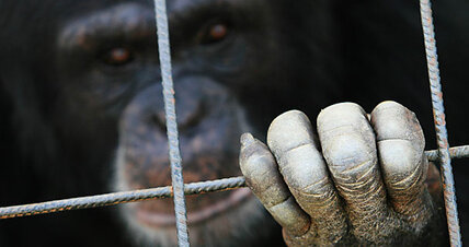 Spain to grant some human rights to apes
