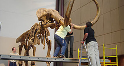 From woolly mammoth hair, the beast's genetic map is born