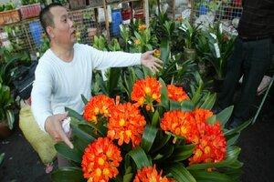 Clivias elegant flowering plants for winter CSMonitorcom