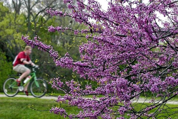 A scrawny trees spring surprise csmonitor small tree big show an eastern redbud tree is covered with purplish pink blooms in early spring before its heart shaped leaves appear mightylinksfo