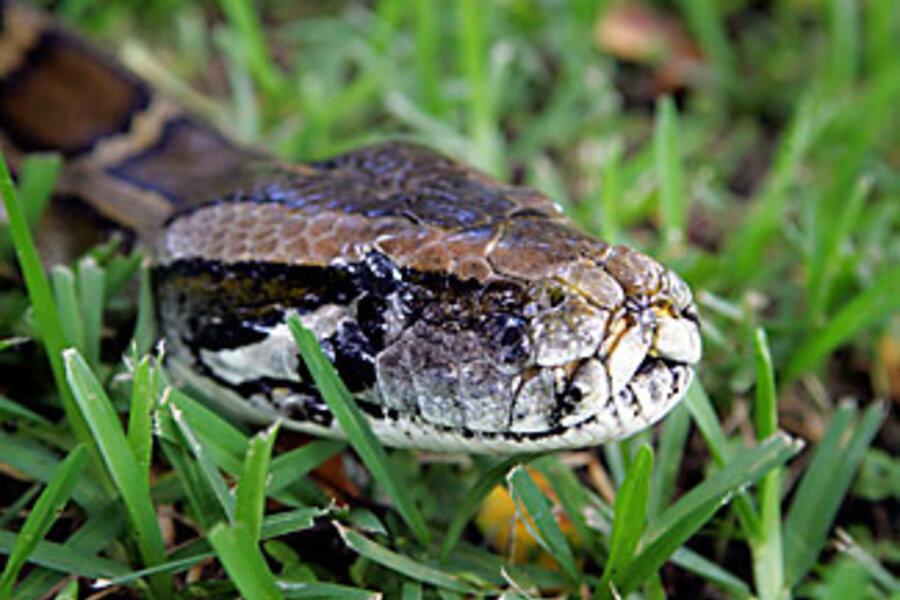 Pythons In Florida Map.Will Florida S Burmese Pythons Move North How Far Csmonitor Com