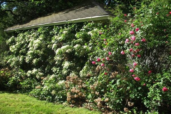 The carefree climbing hydrangea a tale of patience for Evergreen climbing plants for privacy