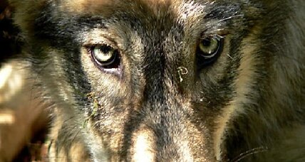 Animal advocates howl over wolf killing