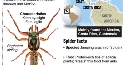 Bagheera kiplingi: A vegetarian spider joins world's Jungle Book