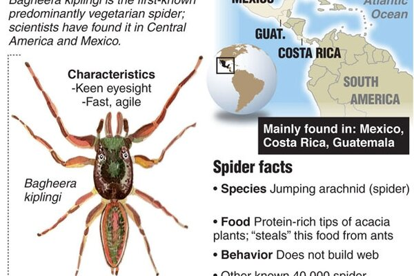 Bagheera Kiplingi A Vegetarian Spider Joins World S