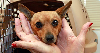 Facing glut of Chihuahuas, California shelters fly pets east