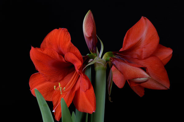 Amaryllis flowers brighten winter for Culture amaryllis