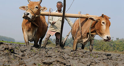 India's sacred cows also touted as economic savior
