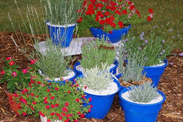 With these tips anyone can grow lavender - Growing lavender pot ...