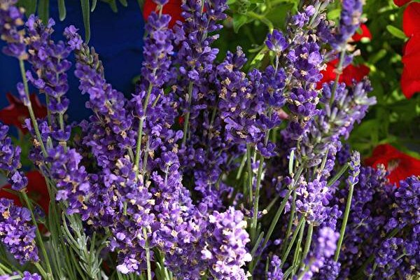 With These Tips, Anyone Can Grow Lavender - Csmonitor.Com