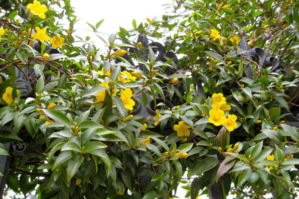 A charming native vine welcomes spring csmonitor carolina jessamine is evergreen in the warmer parts of the south and depending on winter weather may be semi evergreen in zone 7 mightylinksfo