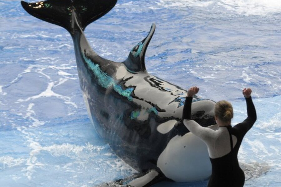 seaworld resumes shows with killer whales  u2013 but no